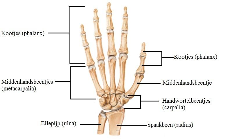 anatomie duim